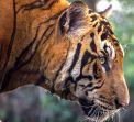 Екскурзия и сафари Индия - По следите на големите котки