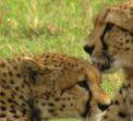 Новогодишно сафари в Кения и почивка на Индийския океан